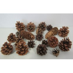 Pignes de pin diverses
